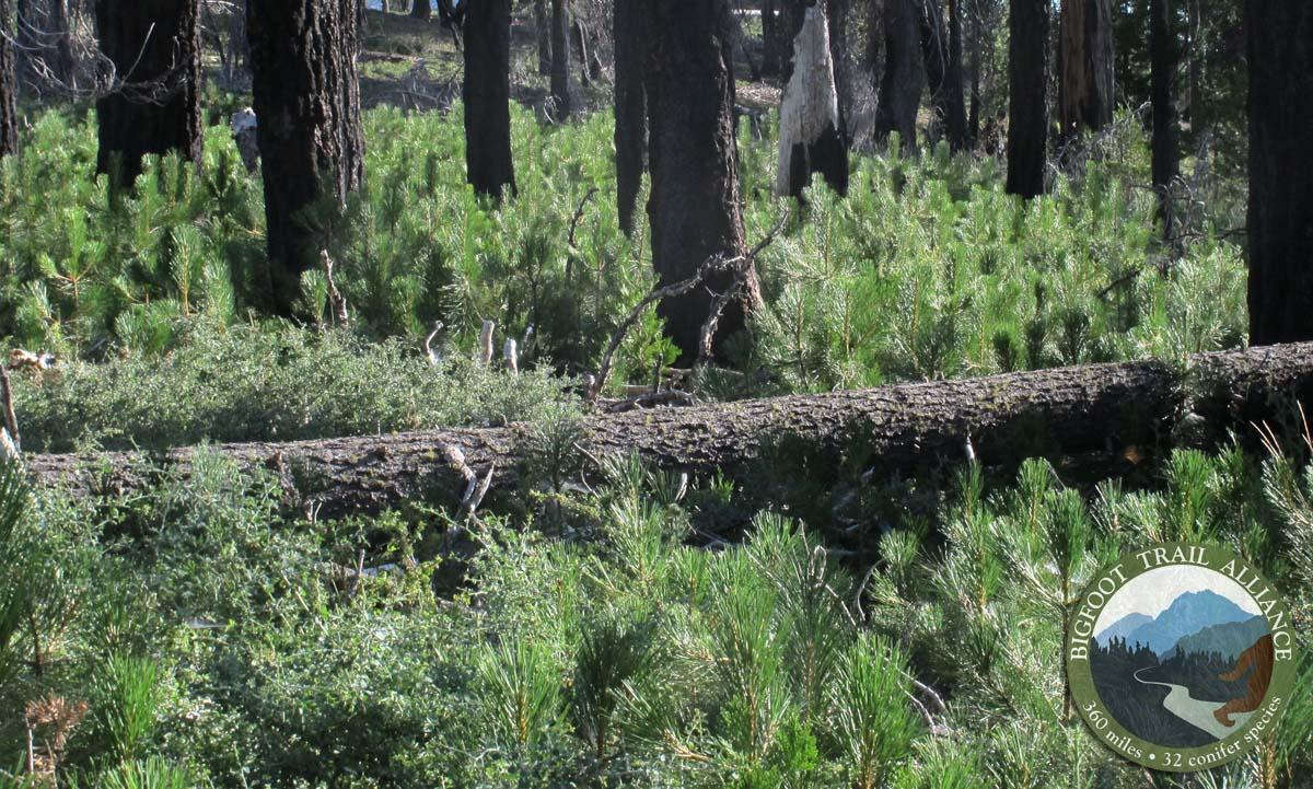 Ponderosa pine regeneration ON the Bigfoot Trail.